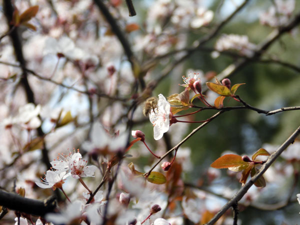 cherry flowers with a busy bee