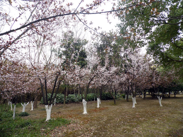 everywhere there is flowers coming up, this is some pictures from Xian Lee on Lihu park in wuxi this week