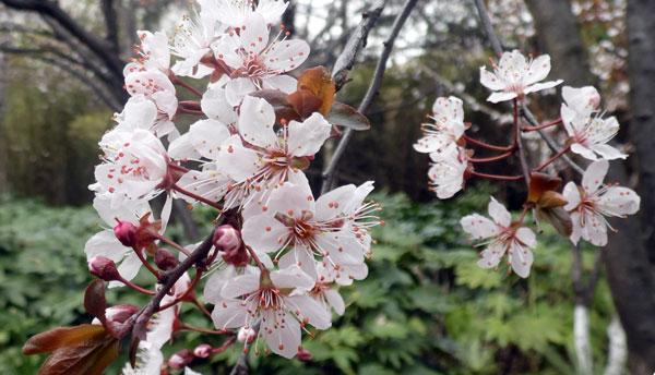 粉红色的樱桃花
