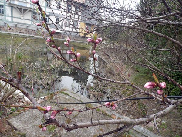 新鲜的樱桃芽